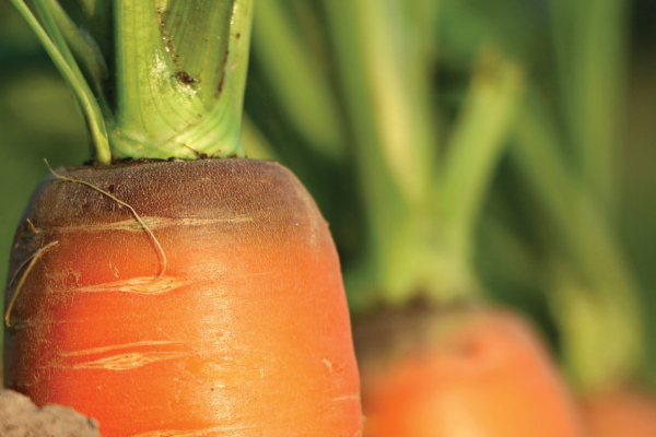 Begečka šargarepa